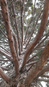 Look up the center of the cedar tree at Mount Palomar