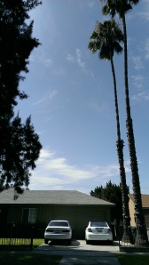 Palm trees planted circa 1958 by Bob's dad Wilbur at house Bob grew up in.