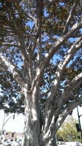Morton Bay Fig Tree in Santa Paula, CA