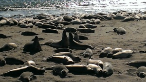 Elephant Seals, San Simeon, CA