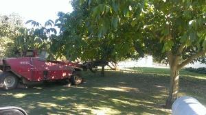 Shaking Walnut Trees