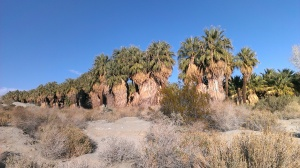 Coachella Valley Preserve , CA