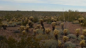 Sonoran Desert Ready to Bloom