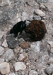 Dung Beetle rolling dung in mating ritual