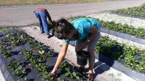Fresh picked strawberries!