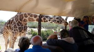 Sherry feeds the giraffe.