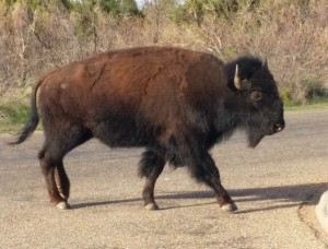 2016-04-26 08.20.53 Bison at Caprock State Park TX edited
